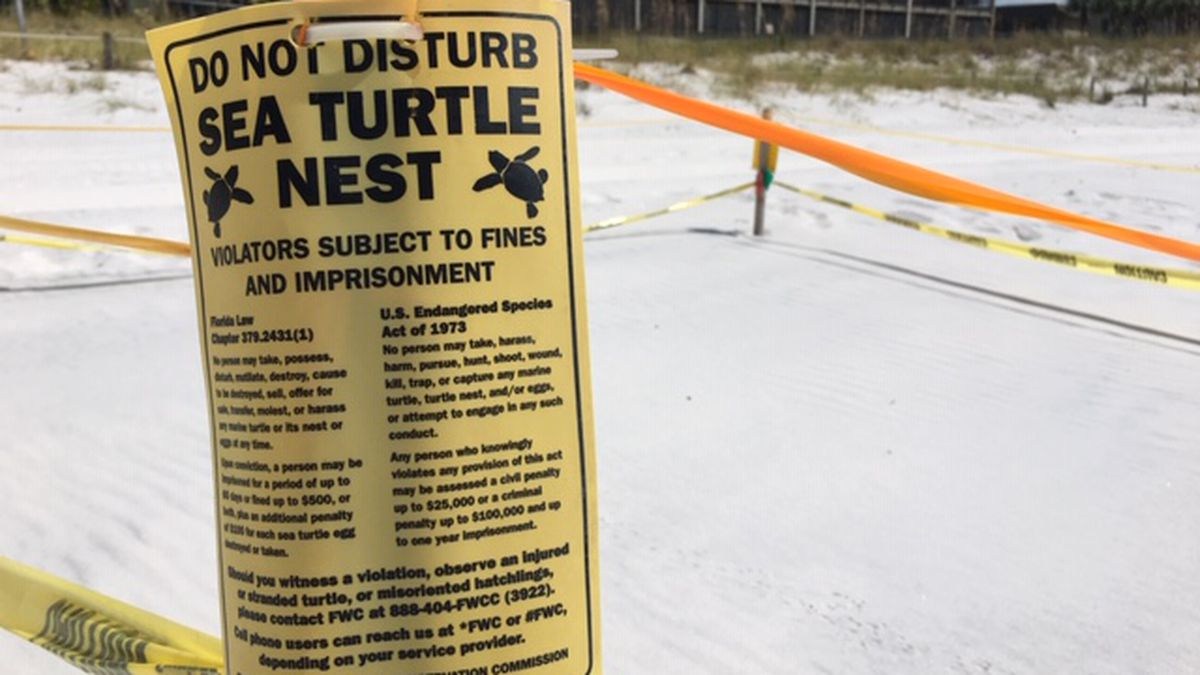 47 sea turtles successfully made their way to the Gulf this nesting season. Although even more could of made it if not for Tropical Storm Barry back in July. (WJHG/WECP)