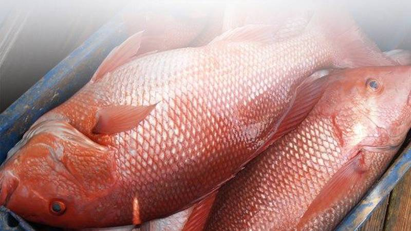 Wednesday, July 28th marked the last day of the 55 day recreational red snapper season in gulf,...