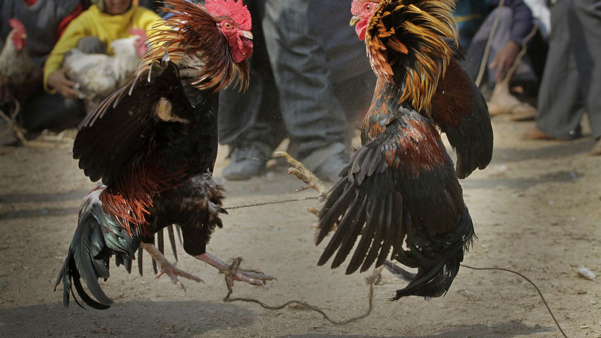 In this Jan. 21, 2011, file photo, people watch a cockfight during the Jonbeel festival in...