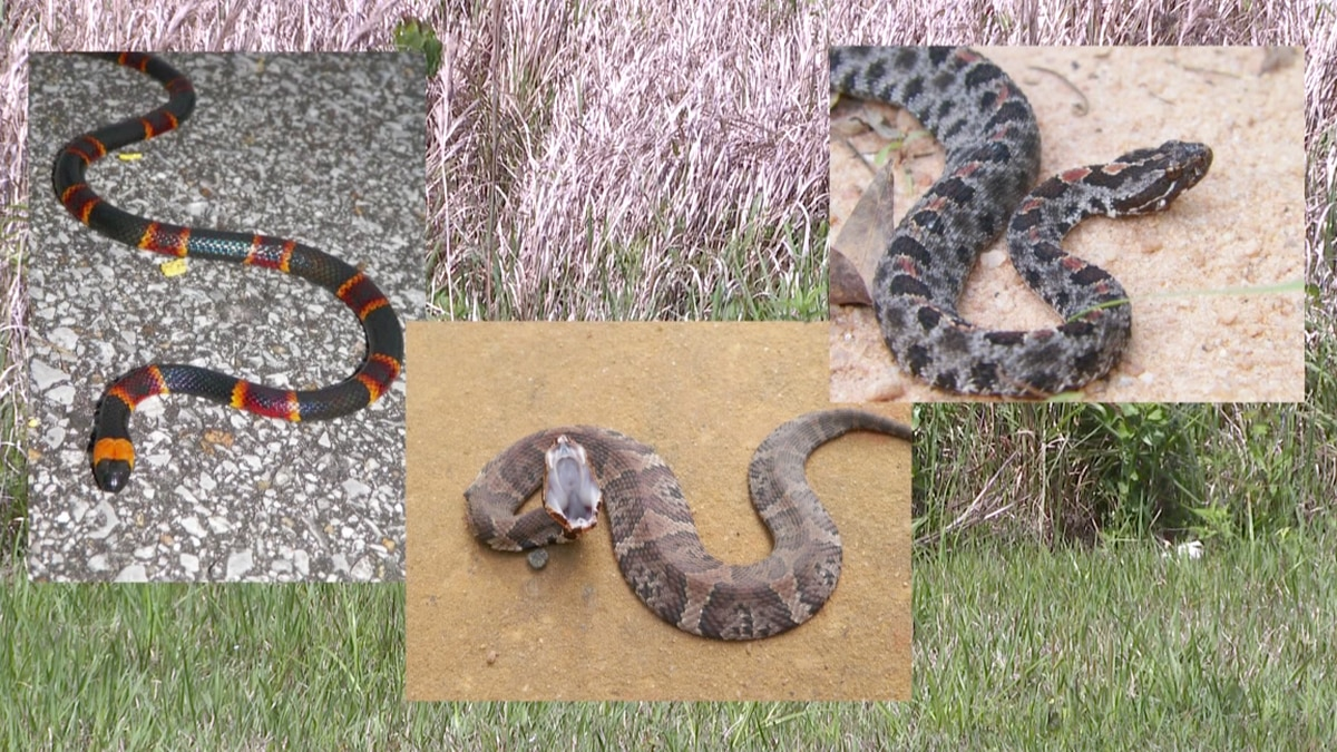 The Coral, Cottonmouth, and Pygmy snakes are some of the few venomous snakes in the area....
