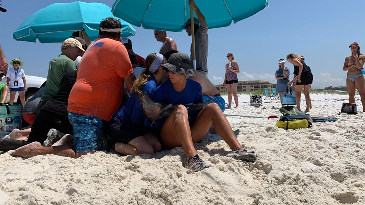 Staff from Emerald Coast Wildlife Refuge helping the Pygmy Sperm Whale after it stranded itself ashore Santa Rosa Beach. (WJHG)