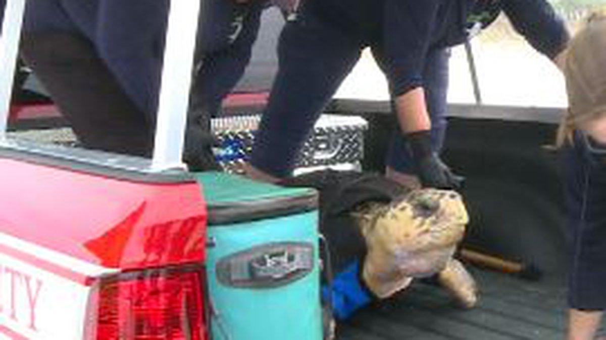Loggerhead sea turtle released Tuesday. (WJHG/WECP)