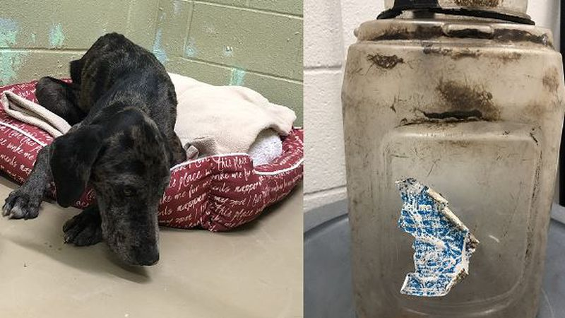 A dog is now safe and being treated after rescuers say he had a jug stuck on his head for at...
