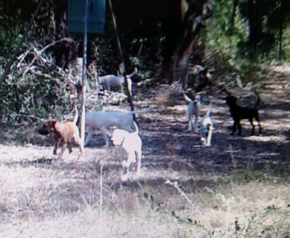 Jackson County Sheriff's Deputies say the dog pack seen here matches the description of the...