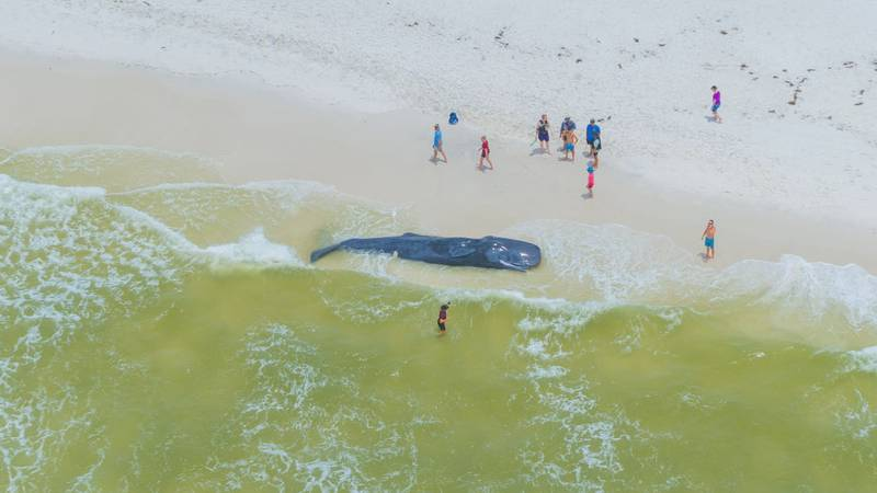 A sub-adult Sperm whale washed up on the shore of a popular local hotspot, Shell Island.