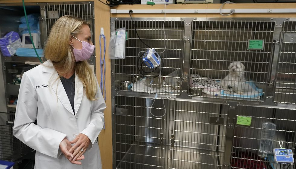 Dr. Katarzyna Ferry looks over at a dog named Wendy, who is being treated for a flare-up of...