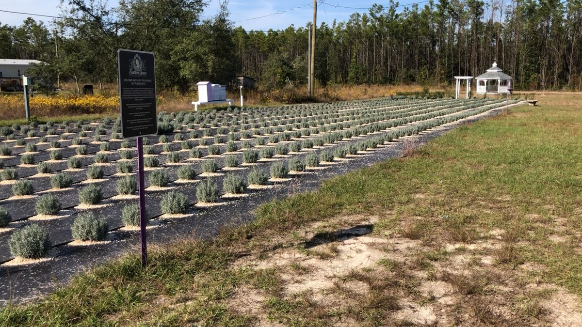 Florida's first lavender farm. (WJHG/WECP)