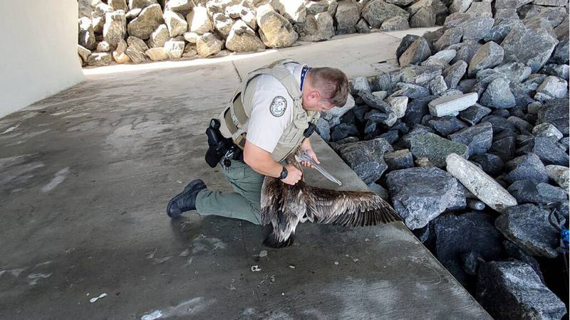 A local pelican rescue is caught on cell phone video.