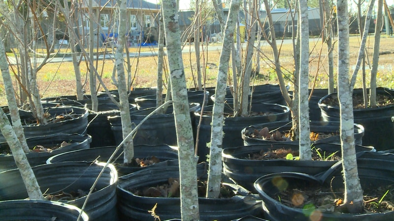 Lynn Haven promotes tree growth in the community by giving away 300 trees.