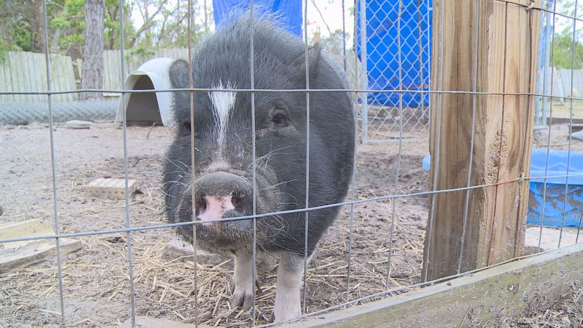 The farm animals there like to eat the trees or even use the needles as bedding. (WJHG/WECP)
