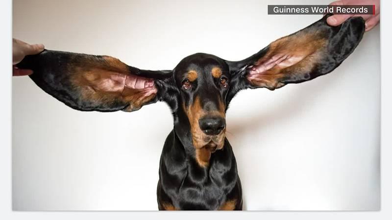 Lou has broken the Guinness World Record for longest dog ears.