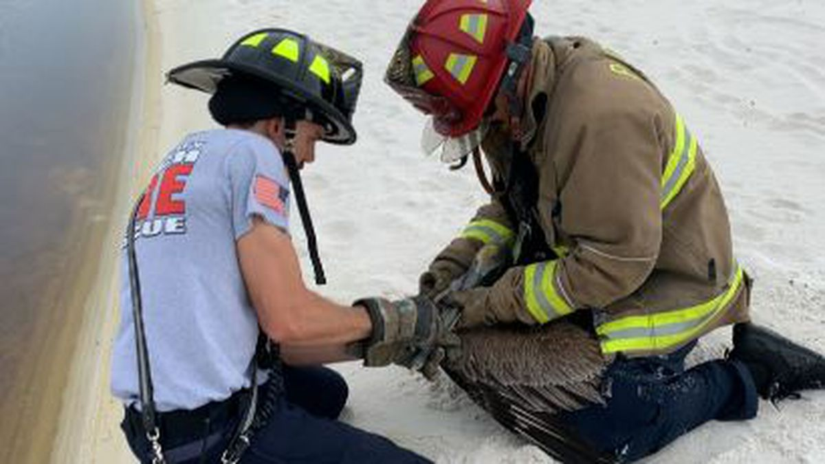 Firemen rescue a pelican entangled in fishing line and hooks. (WJHG/WECP)