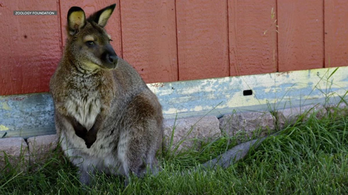 An escaped wallaby was spotted in Aurora, Colorado. (Source: KMGH/Zoology Foundation/CNN)