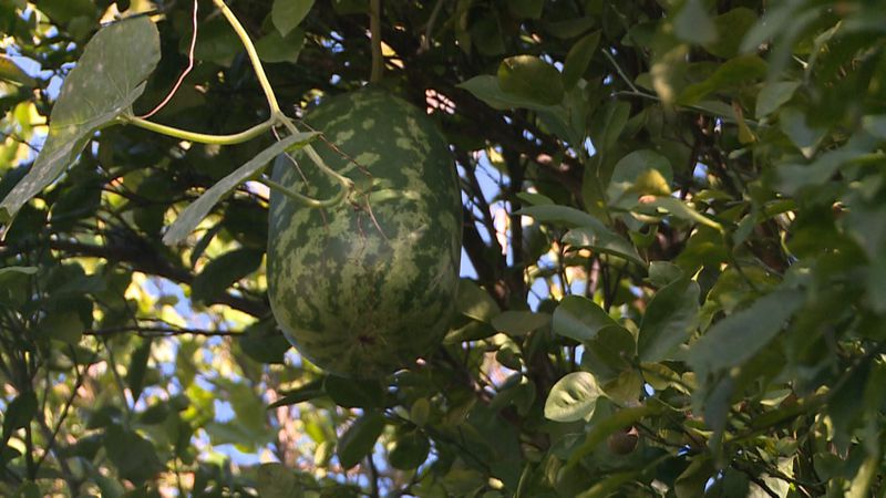A Panama City Beach woman found a watermelon growing in a tree in her garden.