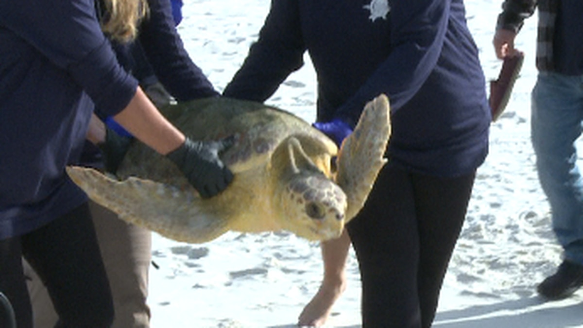 Chester the sea turtle released. (WJHG/WECP)