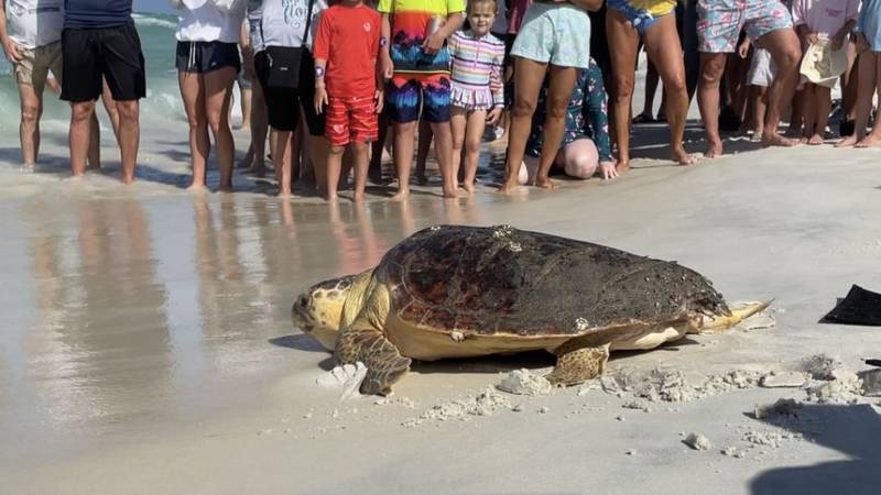 A sea turtle was rehabilitated and released back into the Gulf.