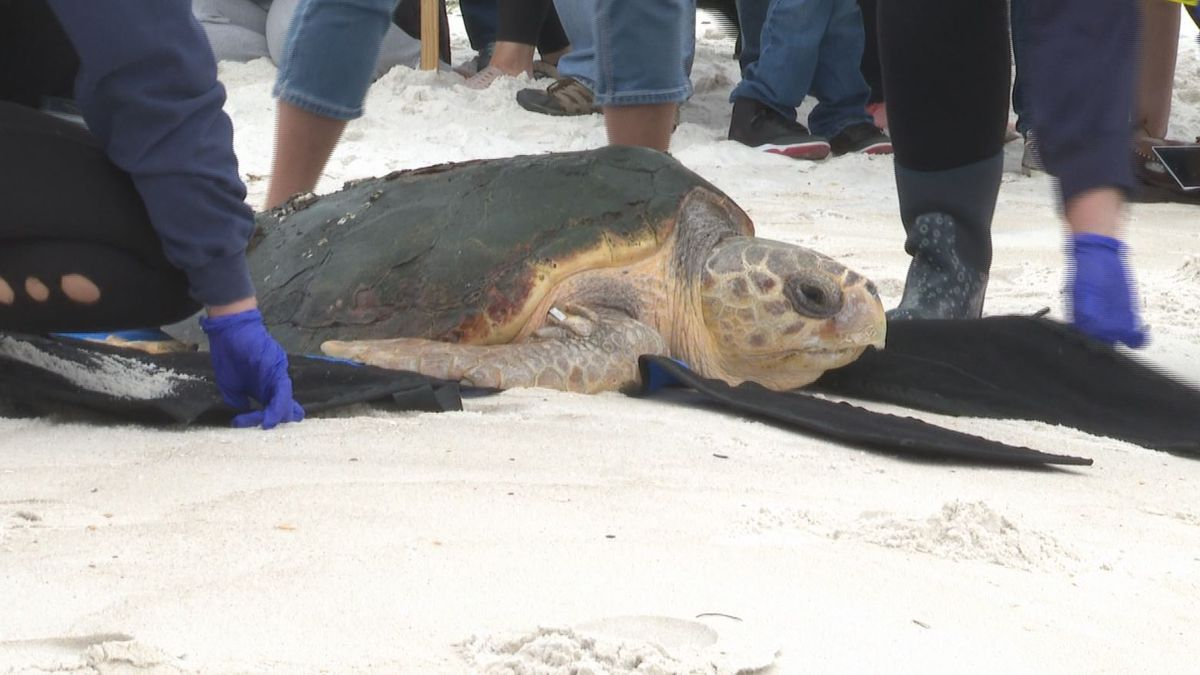Barney the loggerhead sea turtle was released back into the Gulf of Mexico Thursday. (WJHG/WECP)