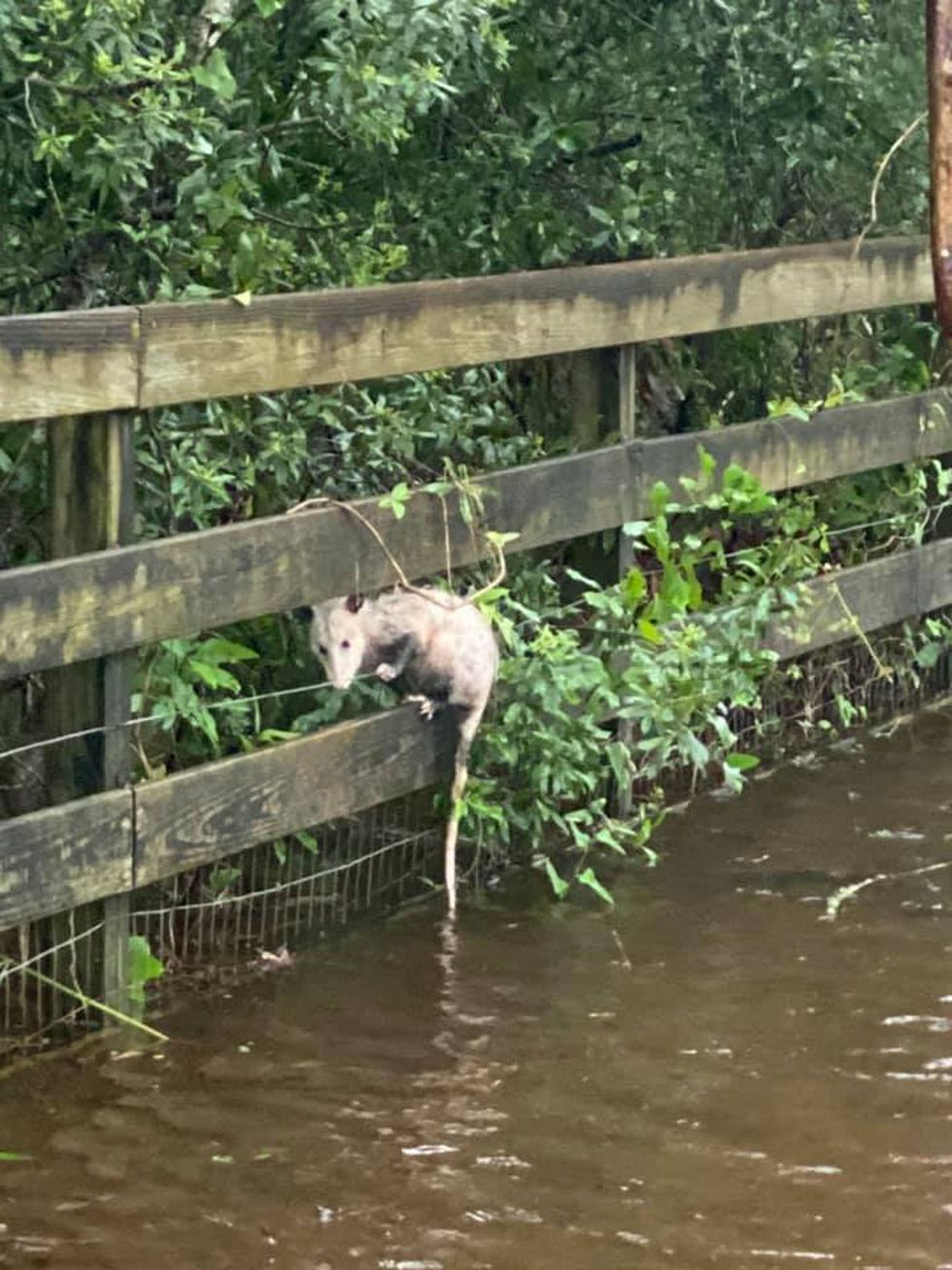 An opossum climbs a fence at Alqua Animal Refuge to get away from the high waters.